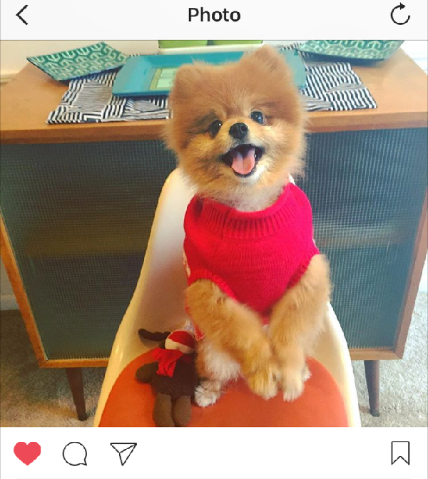 Sid the Pom shows off is now famous two-pawed waves to his social media fans!